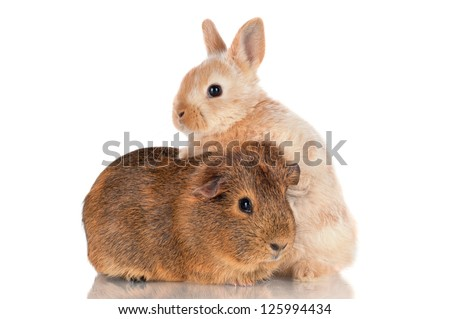 adorable baby rabbit and guinea pig - stock photo