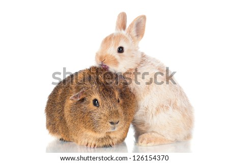 adorable baby rabbit standing on a guinea pig - stock photo