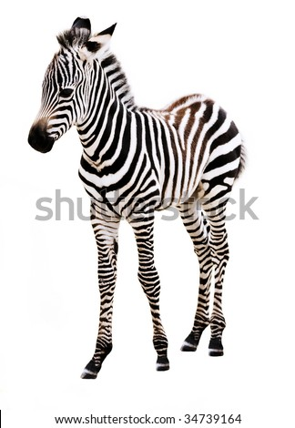Adorable baby Zebra standing, on white background. - stock photo
