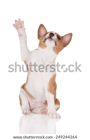adorable basenji puppy waving goodbye - stock photo