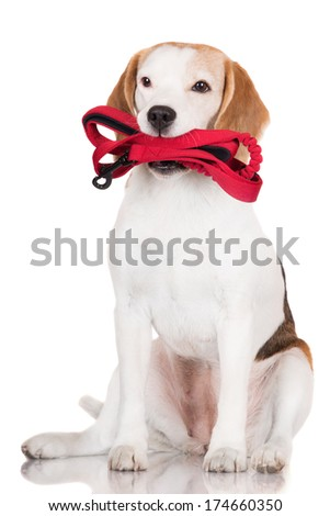 adorable beagle dog holding a leash
