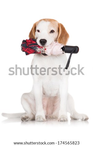 adorable beagle dog holding umbrella