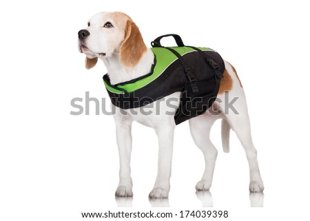 adorable beagle dog in a life jacket - stock photo