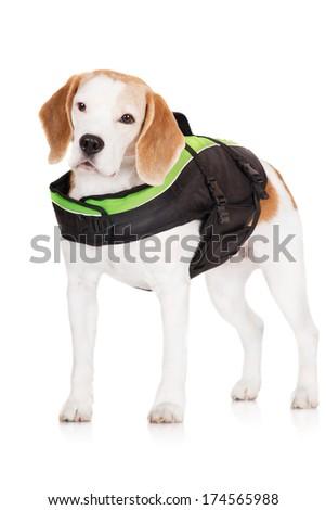 adorable beagle dog in a life jacket - stock photo