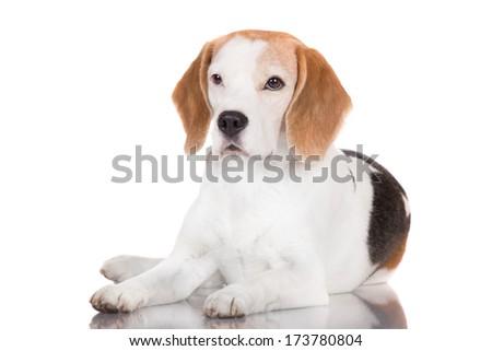 adorable beagle dog lying down - stock photo
