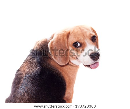 Adorable Beagle looking back on white background - stock photo