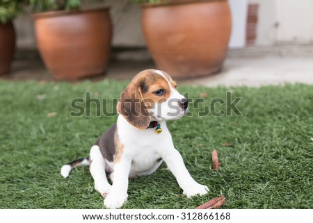 Adorable Beagle Puppy's laying down on the floor at the backyard (Selective Focus Point)