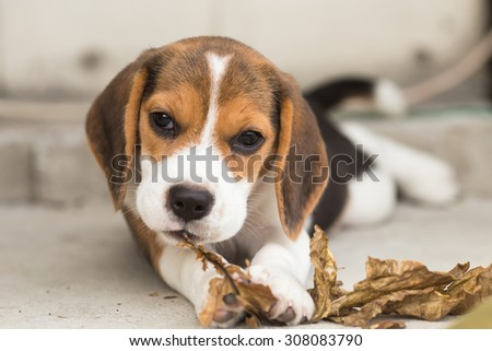 Adorable Beagle's playing on the glass at the backyard try to eat some leaf (Selective Focus Point) - stock photo