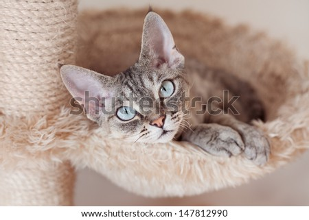 Adorable beautiful Devon Rex cat is chilling on the scratching post. Cat is laying on the hammock. Cat is feeling comfortable and safe being at home. Home pets. Cat Supplies and Equipment.