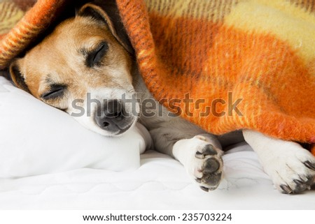 Adorable beautiful dog face sleeping in bed. Sweet dreams  - stock photo