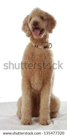 adorable beige poodle sitting, white background - stock photo