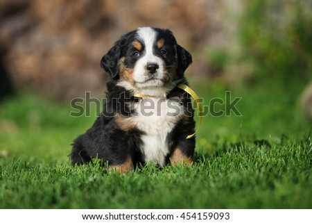 adorable bernese mountain puppy outdoors