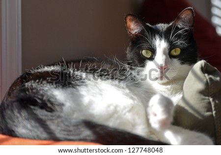 Adorable black and white cat relaxing in the sunshine on the back of a couch with a hint of orange blanket showing