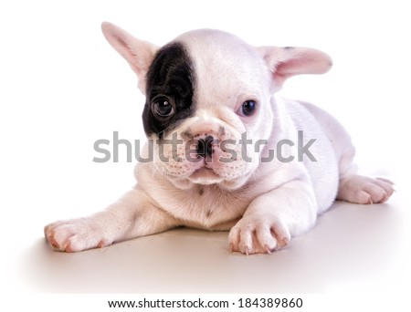 Adorable black and white french bulldog puppy with patch on eye isolated on white - stock photo
