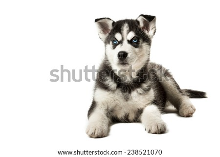 Adorable black and white with blue eyes Husky puppy.  Isolated on white background.  - stock photo