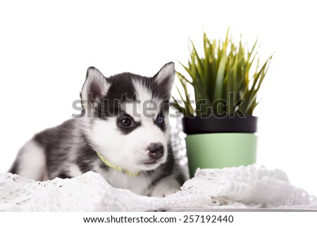 Adorable black and white with blue eyes Husky puppy. Studio shot. - stock photo