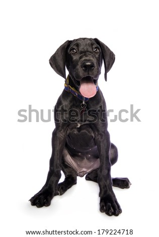 Adorable black Great Dane puppy isolated on white background