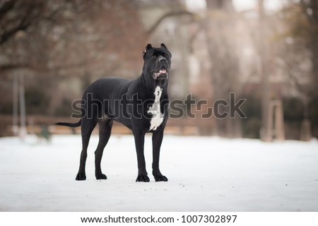 adorable black healthy and happy cane corso female enjoying the snow