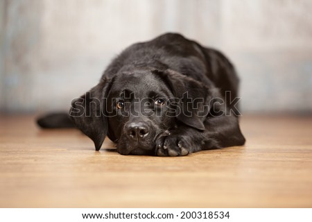 Adorable black lab lying on a wood floor.   - stock photo
