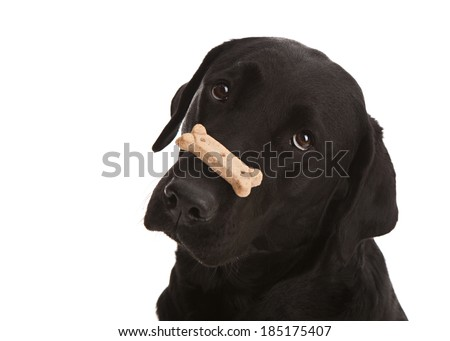 Adorable black lab puppy balancing a dog treat on her nose.  Isolated on white.  Room for your text.