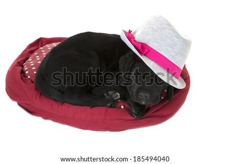 adorable black labrador puppy asleep wearing hat - stock photo