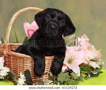 Adorable Black Labrador Puppy in basket with flowers