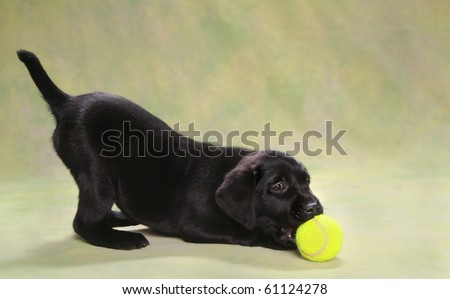Adorable black Labrador puppy playing with ball - stock photo