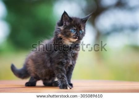 adorable black maine coon kitten - stock photo