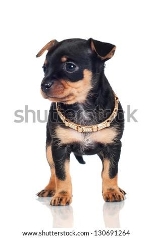 adorable black puppy in a collar - stock photo