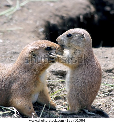 Adorable black tailed prairie dog puppy kissing his mother at nose. - stock photo