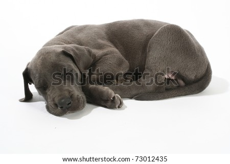 Adorable Blue Great Dane puppy isolated on white sleeping
