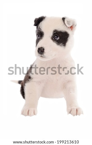 adorable border collie puppy sitting on white - stock photo