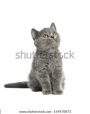 adorable British blue shorthair kitten on a white background.