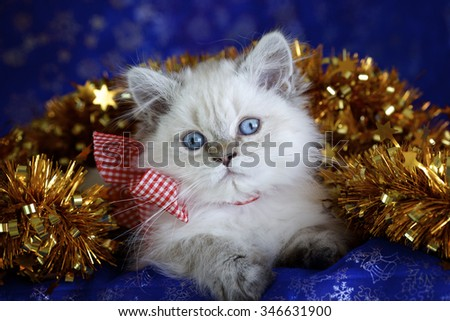 Adorable British kitten lying in shiny gold tinsel - stock photo