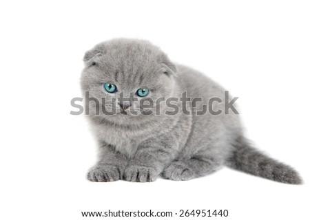 Adorable british little kitten on the white studio shoot - stock photo