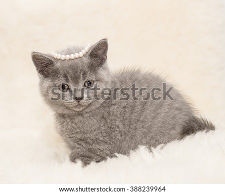 Adorable british little kitten posing on wool
