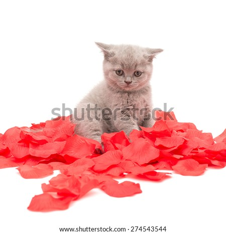 Adorable british little kitten posing with red rose petals - stock photo