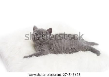 Adorable british little kitten posingon a pillow.  - stock photo
