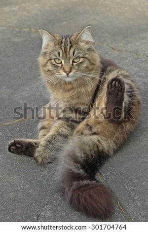 adorable British long hair cat sitting - stock photo
