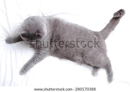 Adorable British short hair cat - stock photo