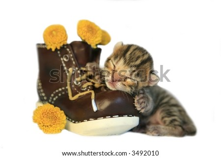 Adorable brown Bengal kitten on old boot with yellow flowers isolated on white - stock photo