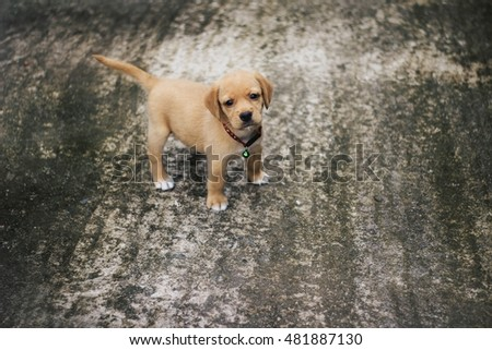 Beautiful Fur Brown Adorable Dog - stock-photo-adorable-brown-fur-golden-retriever-puppy-stand-on-rough-grunge-concrete-ground-looking-at-camera-481887130  Image_311310  .jpg