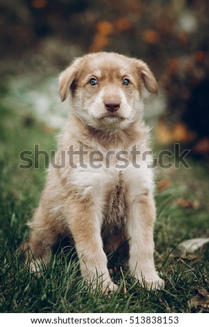 adorable brown puppy with amazing blue eyes on background of autumn park. space for text. faithful friend concept. fall wallpaper backdrop print