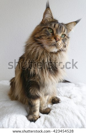 Adorable brown tabby Maine Coon sitting upright and looking curious. - stock photo