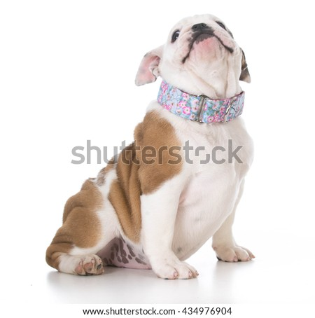 adorable bulldog puppy looking up on white background