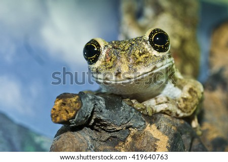 Adorable cameroon big eyed tree frog portrait