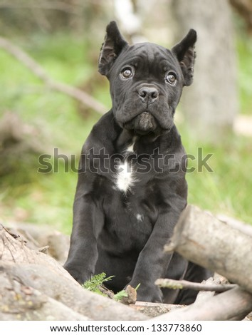 Adorable Cane corso puppy - stock photo