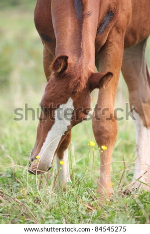 Adorable chestnut foal with white stripe on the head eating grass - stock photo