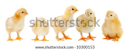 Adorable chicks a over white background - stock photo