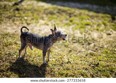 Adorable chihuahua barking in the garden in a sunny day - stock photo